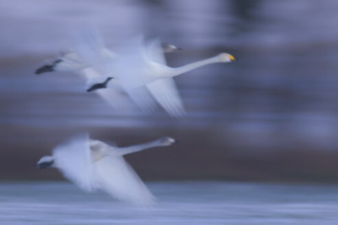 Germany, Schleswig-Holstein, Whooper swans, Cygnus cygnus, flying - HACF000143