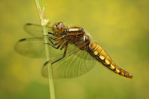 Broad-bodied Chaser, Libellula depressa - MJOF000468