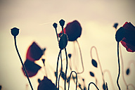 Red poppies, Papaver rhoeas, by twilight - HOH000865