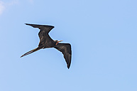 Oceania, Galapagos Islands, flying magnificent frigatebird, Fregata magnificens - CB000319