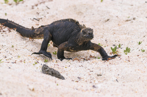 Oceania, Galapagos Islands, Santa Cruz, marine Iguana, Amblyrhynchus cristatus, walking in sand - CB000322