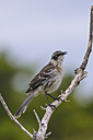 Oceania, Galapagos Islands, Santa Cruz, Galapagos mockingbird, Nesomimus parvulus on branch - CB000325