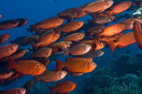 Oceania, Palau, Common bigeyes - JWAF000085