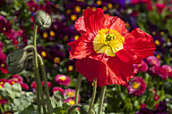 Germany, Iceland poppy, Papaver nudicaule - WIF000803