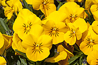 Germany, Yellow Horned Violet, Viola cornute - WIF000808
