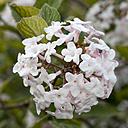 Germany, Arrowwood, Viburnum carlesii - WIF000810