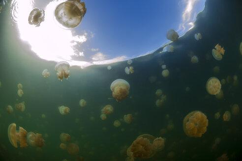Oceania, Palau, Eik Malk, Spotted jellyfish, mastigias papua, in saltwater lake - FGF000049