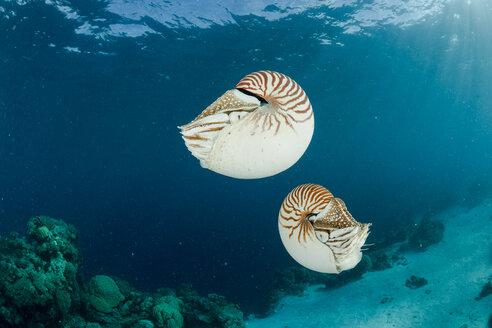Oceania, Palau, Palau nautilusses, Nautilus belauensis, in Pacific Ocean - FGF000046