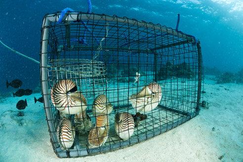 Oceania, Palau, Palau nautilusses, Nautilus belauensis, in fish trap in Pacific Ocean - FG000048
