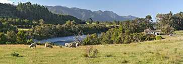 New Zealand, Golden Bay, sheep on a farm and sheds at the Aorere River - SHF001412