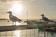 New Zealand, Nelson, seagulls in back light on a handrail with the sun setting over the harbor - SHF001428