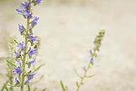 Germany, Saxony, Blueweed, Blueweed, Echium vulgare - MJF001292