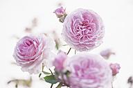 Germany, Saxony, Roses, Rosa - MJF001297