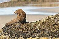 New Zealand, Tasman, Golden Bay, Puponga, New Zealand fur seal on the beach near Cape Farewell - SHF001437