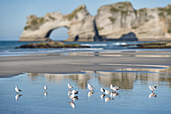 New Zealand, Golden Bay, Wharariki Beach,  flock of seagulls in the sand at the beach during low tide - SHF001451