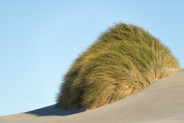 New Zealand, Golden Bay, Wharariki Beach, tussock of grass in a sand dune at the beach - SHF001457