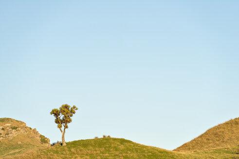 New Zealand, Golden Bay, Wharariki Beach, cabbage tree on top of an overgrown sand dune - SHF001463