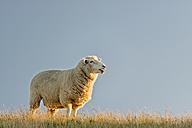 New Zealand, Golden Bay, Wharariki Beach, sheep on top of a ridge in the evening sun - SHF001486