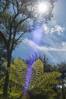 New Zealand, Tasman, Golden Bay, Takaka, fern tree and sun in back light along the Pupu Hydro Walkway - SHF001474