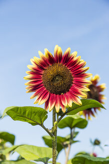 Bicoloured sunflowers, Helianthus annuus, in front of blue sky - SR000587