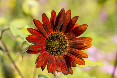 Red sunflower, Helianthus annuus - SRF000589