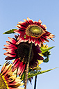 Bicoloured sunflowers, Helianthus annuus, in front of blue sky - SRF000592