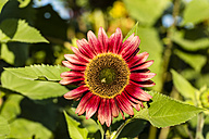 Red sunflower, Helianthus annuus - SR000595