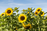 View to sunflower field, Helianthus annuus - SR000598