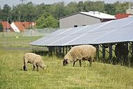 Germany, North Rhine-Westphalia, Petershagen, Petershagen-Lahde, Sheeps grazing on a field with solar panels. - HAWF000331