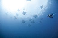 Portugal, Azores, Santa Maria, Atlantic Ocean, diver and Mobula rays - ZCF000085