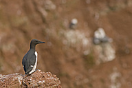 Germany, Helgoland, common murre on rock - HACF000145
