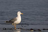 Germany, Helgoland, European herring gull - HACF000146