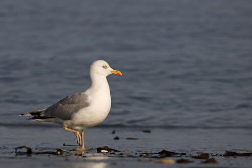 Germany, Helgoland, European herring gull - HACF000146