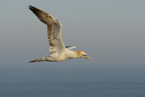 Germany, Helgoland, northern gannet flying - HACF000150