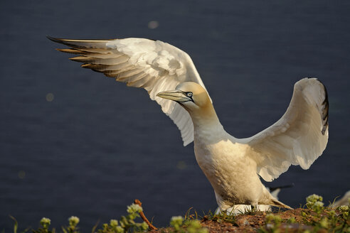 Germany, Helgoland, northern gannet - HACF000153