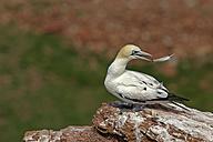 Germany, Helgoland, northern gannet - HACF000157