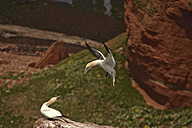 Germany, Helgoland, two northern gannets - HACF000161