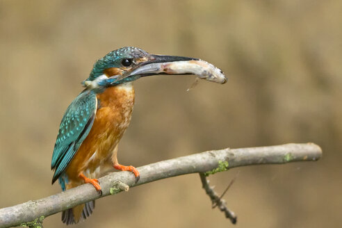 Germany, Lower Saxony, Common kingfisher, Alcedo atthis, with fish on branch - HACF000166