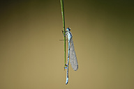 Azure damselfly, Coenagrion puella, hanging on blade of grass in front of brown background - MJOF000490