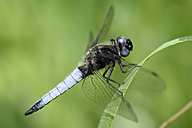 Scarce chaser, Libellula fulva, in front of green background - MJOF000493