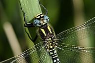 Hairy dragonfly, Brachytron pratense, close-up - MJOF000496