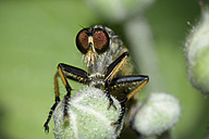 Robberfly, Neoitamus cyanurus, close-up - MJOF000502
