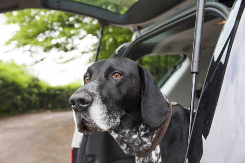 Portrait of German Shorthaired Pointer in opened car boot - JATF000723