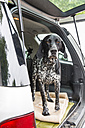 German Shorthaired Pointer standing in opened car boot - JATF000724