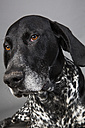 Portrait of German Shorthaired Pointer in front of grey background - JATF000728