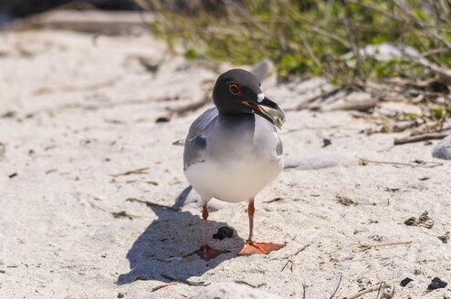 Ecuador, Galapagos, Genovesa, Swallow-tailed gull, Creagrus furcatus - CB000349