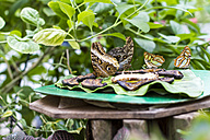 Germany, Kiel, Butterflies sitting on plate, eating - JFEF000440