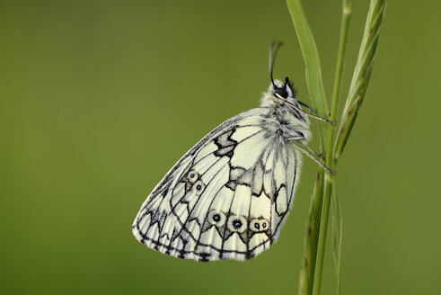 Marbled white, Melanargia galathea, hanging on blade of grass in front of green background - MJOF000510