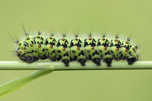 Emperor moth, Saturnia pavonia, on blade of grass, in front of green background - MJOF000513
