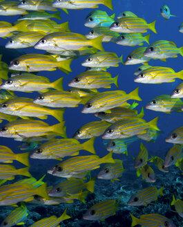 Oceania, Palau, Schoal of bluestripe snappers - JWAF000128